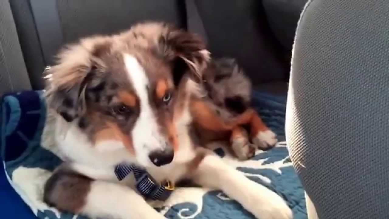 INCREDIBLE: This Dog Woke Up and Starting Singing to his Favorite Song