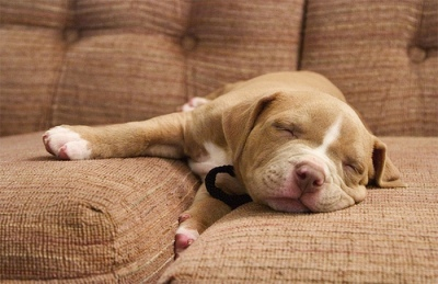 10 Adorable Pitbull Puppies Who're Ready To Blow Your Mind!
