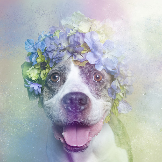 5 Pitbulls That Took Flower Power To The Next Level! Insanely Adorable!