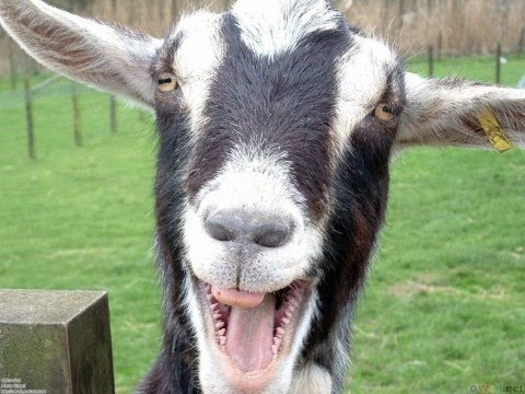 YES…These are Real GOATS Screaming Like Humans! I'm Still Laughing.