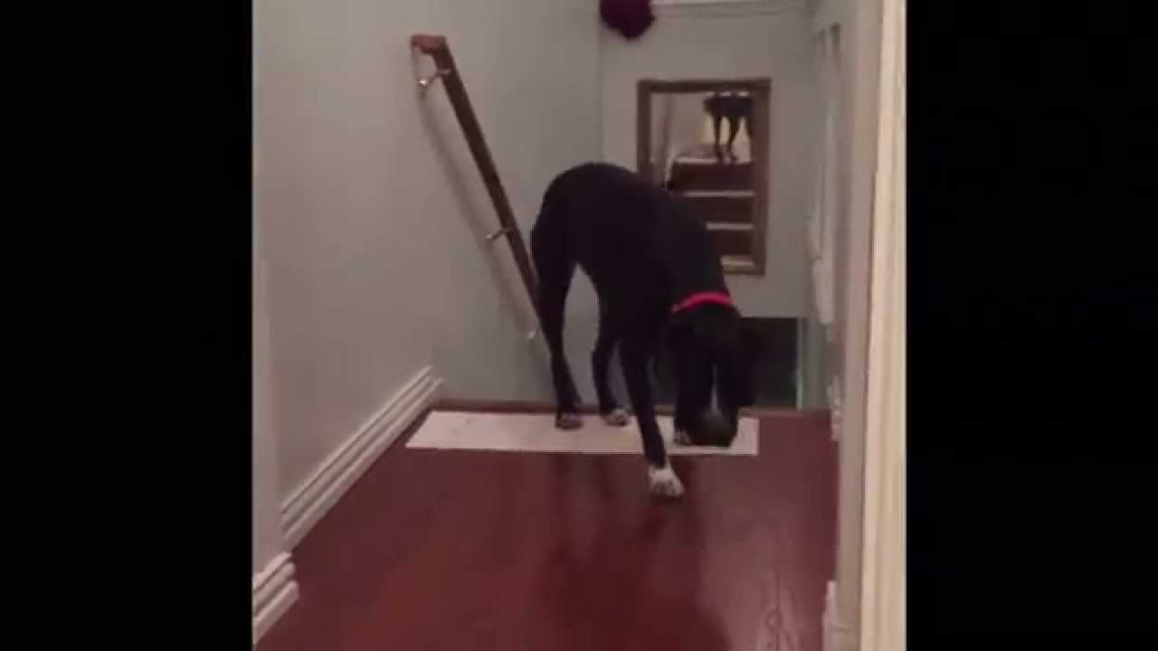 This Adorable Pitbull Is Afraid Of Walking Through Doors So He Conquers His Fears In A Hilarious Way!