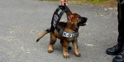 Boston police K-9 tries on his vest that he will grow into - Imgur