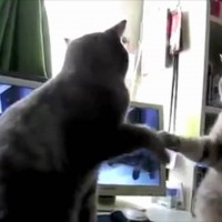 Have You Seen These Two Cats Playing Patty Cake? They're Hilarious! A MUST Watch!