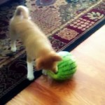 Pup VS Watermelon – Who Wins?