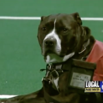 It Was His Graduation Ceremony, But They Were All Stunned When A Pit Bull Attended It Instead.