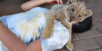 Cute Baby Lions Attack 2 Girls! All Caught On Camera – See It Here