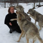 These Wolves Reunite With Woman Who Helped Save Them From Extinction in Norway