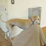 This Greyhound Kept Moving His Bed From One Room To Another. The Reason Why Will Leave You Smiling!