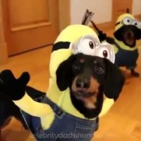 Adorable Dachshunds Decide To Become Minions For The Day! #SoHilarious!