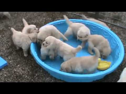 Golden Retriever Puppies Annoyed At Their Person Because Their Swimming Pool Is Empty! Aww!!