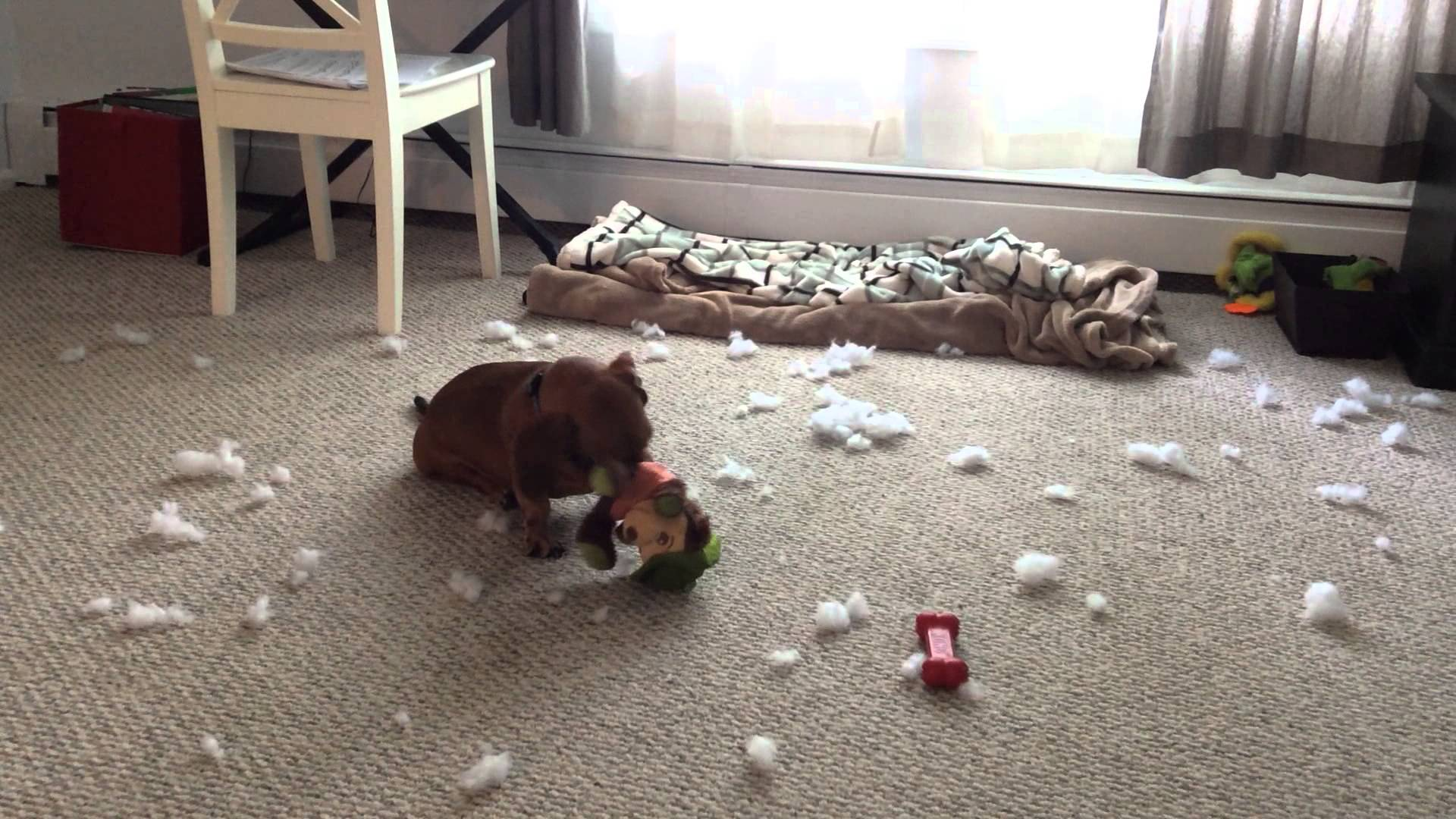If You Leave A Naughty Dachshund Home All Alone, Be Prepared For This To Happen!