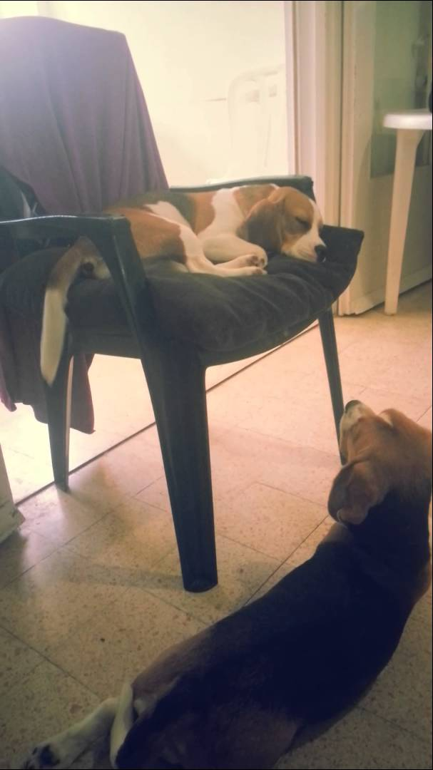 Lexi The Beagle Was Fast Asleep, But What She Started Doing In Her Sleep Completely Confused Her Sister!