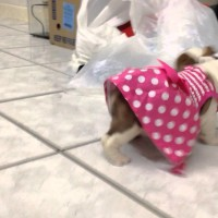 Ready For Your First Dose Of Cuteness? Watch This Tiny English Bulldog In Pink!