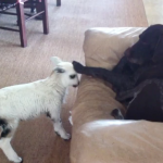 This Adorable Pet Lamb Thinks She Is a Dog – Watch Now