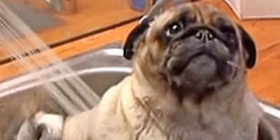 Barry The Pug In the Tub Loves A Bath!