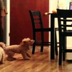Eager Dog Spots A Delicious Bone on The Table..Seconds Later…OMG!