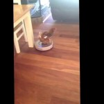 Woman Comes Home To See Her Chicken Riding The Roomba!
