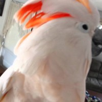 Adorable Cockatoo's Method To Escape A Vet Visit Is Just Too EPIC!