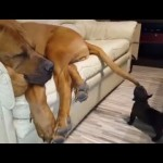 For This Tiny Puppy, Size Doesn't Matter So He Goes After The…Great Dane!