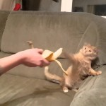 Feisty Ginger Kitten Wants Nothing To Do With This Yellow Human Food!