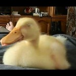 He Looks Like A Normal Duckling, Now Turn Up Your Volume To See Why He's Going Viral!
