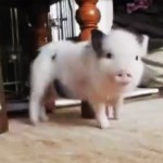 Fluffy Piglet Gets Ready, And When The Song Starts Playing? OMG!