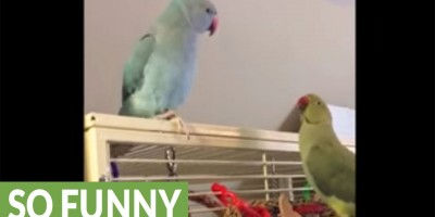 See What This Green Bird Tells His Approaching Brother! Hilarious!