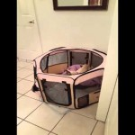 They Couldn't Understand How Their Dog Escaped His Pen. The Hidden Camera Recorded THIS!