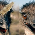 What Do You Get When You Put Curious Emus And A Weasel Ball Together?