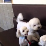2 Dogs Start Fighting. Watch What Happens When The Other Fluffy Dog Finds Out! Hilarious!