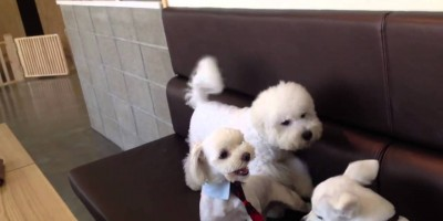 2 Fluffy Dogs Start Fighting. But Watch What Happens When The Other Fluffy Dog Find Out! Hilarious!