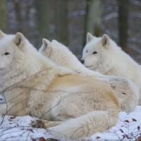 arctic-wolves-howling-696x361
