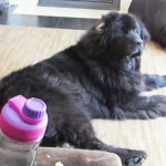 Giant Dog Adorably Argues With Mom. The Reason? I'm Cracking Up!