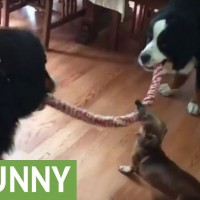 The Little Dachshund Looks Totally Outmatched, But You Won't Believe What Happens!