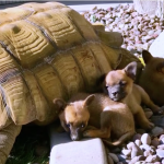 These Cute Abandoned Puppies Become Best Friends with This Lonesome Giant Tortoise