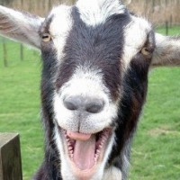 Goats Screaming Like Humans – I Haven't Laughed This Hard All Year