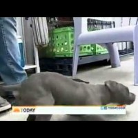 This Paralyzed Pitbull Puppy Was Thrown Out In The Trash, But Look At Him Now!!!