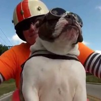 Sweets The Bulldog Is A Badass Biker. See What She Does When Someone Waves At Her!