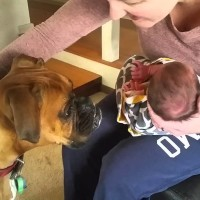 Cuteness Times Ten! Boxer Meets Baby Sister!