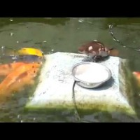 This Little Duckling Was Surrounded By Fish. What He Does Next STUNNED Me!