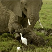 Grandma Elephant Rushes In When She Sees THIS. But Keep Your Eyes On The Baby…